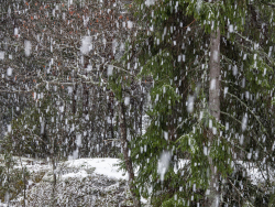 Heavy snow fall in forest, Sweden