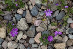 Flowers and beach pebbles, Bretagne