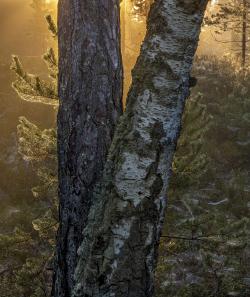 Tree trunks and spider webs, Sweden