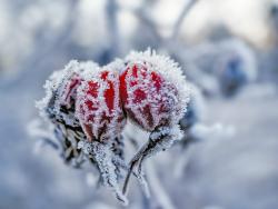 Frost on rose-hip, Sweden
