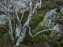 Small birch, Sweden