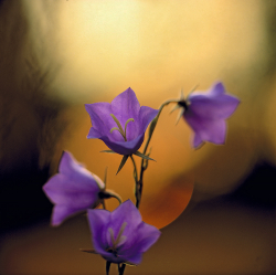 Pech-leaved bellflower, Sweden