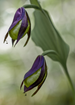 Lady-slips orchid, Sweden