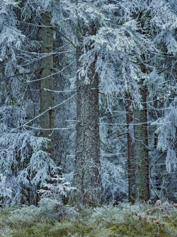 Spruce, Sweden