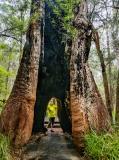Karri, Western Australia