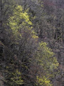 Spring In beech forest, Skåne