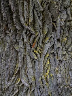 Oak trunk, Sweden