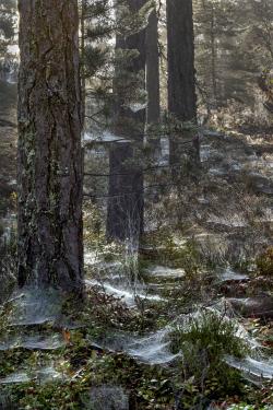 Pine forest, Sweden