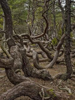 Worming pine, Öland