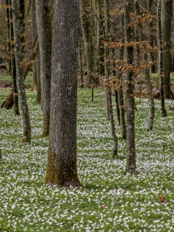 Beech forest with wood anemone, Skåne