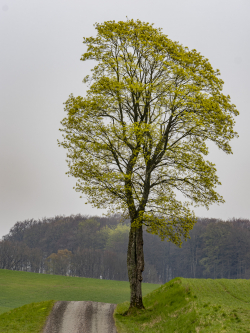 Maple. Skåne