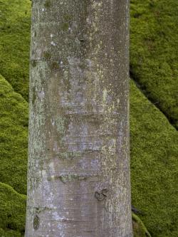 Beech trunk, Skåne