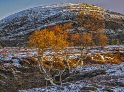 Mountain birch, Dalarna