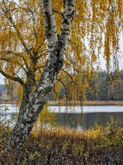 Warty birch, Sweden