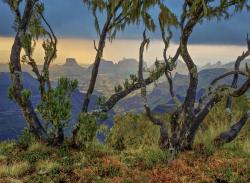 Tree heath, Simien, Ethiopia
