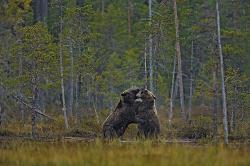 Brown bear, Finland