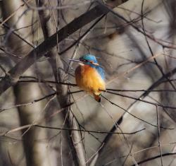 Common kingfisher, Sweden