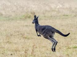 Grey kangaroo, Western Australia,