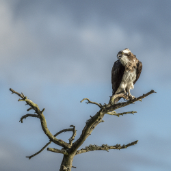 Osprey, Sweden