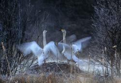 Wooper swan, Sweden