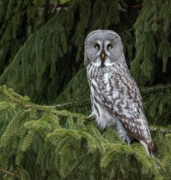 Great grey owl, Sweden