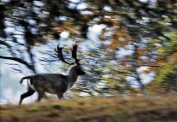 European fallow deer, Sweden