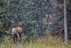 Elk, Canada