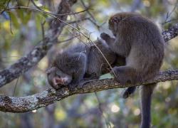 Formosan rock macaque, Taiwan