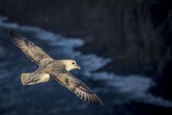 Northern fulmar, Orkney