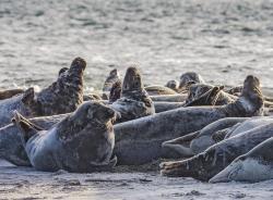 Grey seal, Sweden