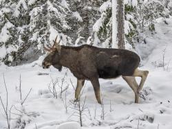 Moose, Sweden