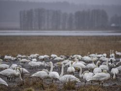 Whooper swan, Sweden