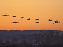 Common crane, Sweden
