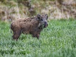 Wild boar, Sweden