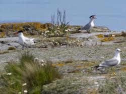Caspian tern and common gull, Sweden