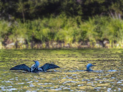 Black-throated loon, Sweden