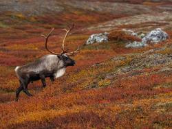 Bull reinere, Sweden