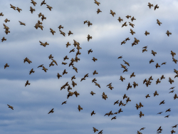 Migrating starlings, Denmark
