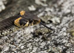 Grass snake, Sweden