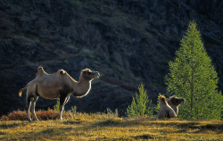 Bactrian camel, Mongolia