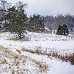 Red fox, Sweden